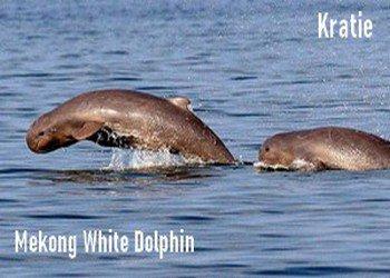Kratie trip-Mekong Dolphin fish tour-White Dolphin tour- angkor friendly driver